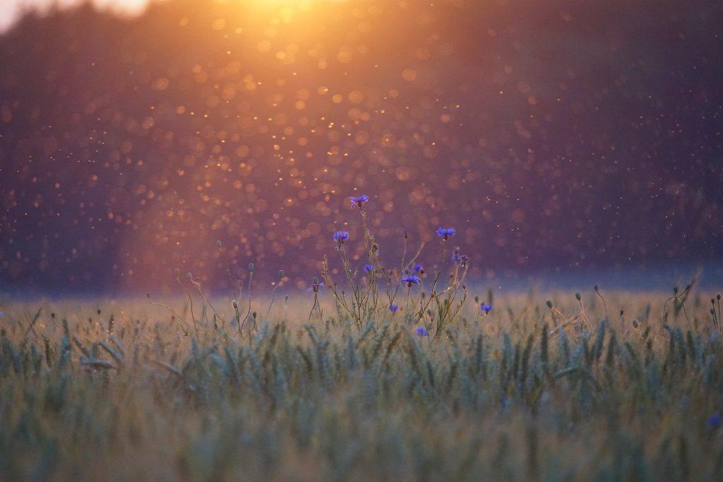 Nuée de moustique au dessus d'un champ