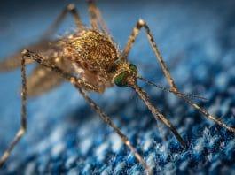Gros plan sur un moustique
