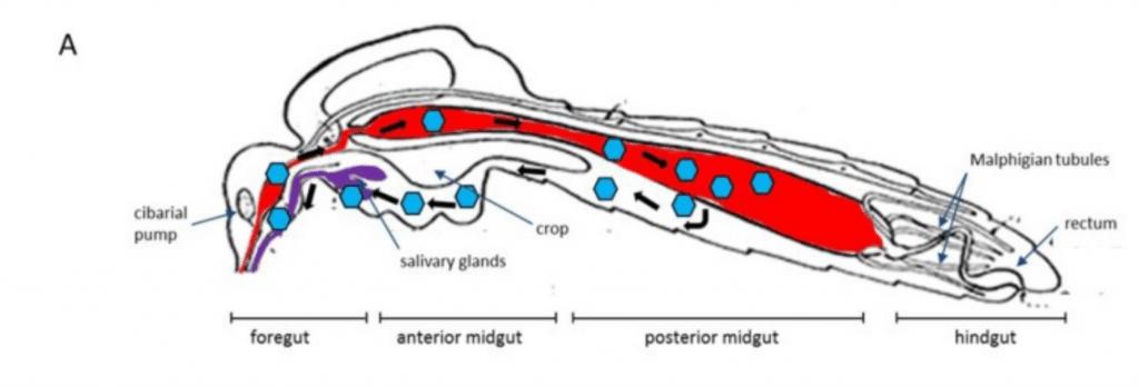schema d'infection par arbovirus