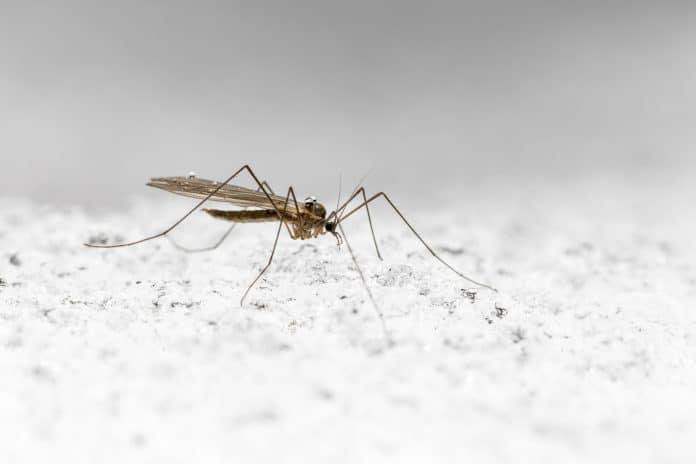 Un moustique sur de la neige
