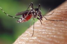 Aedes albopictus - moustique tigre